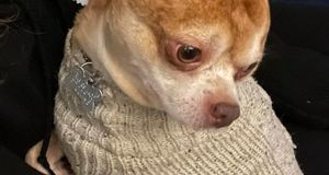 'A 13 lb. rage machine.' Ad has thousands rooting for 'demonic' Chihuahua to find home